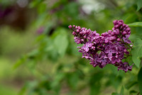 Bellamy_Ferriday_House_Lilacs_03