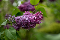 Bellamy_Ferriday_House_Lilacs_05