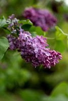 Bellamy_Ferriday_House_Lilacs_06