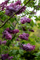 Bellamy_Ferriday_House_Lilacs_08