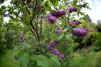 Bellamy_Ferriday_House_Lilacs_09