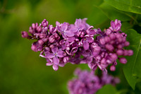 Bellamy_Ferriday_House_Lilacs_16