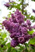 Bellamy_Ferriday_House_Lilacs_17