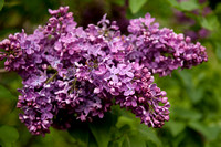 Bellamy_Ferriday_House_Lilacs_18