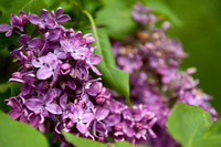 Bellamy_Ferriday_House_Lilacs_19