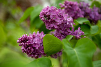 Bellamy_Ferriday_House_Lilacs_15