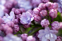 Bellamy_Ferriday_House_Lilacs_96
