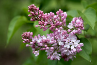 Bellamy_Ferriday_House_Lilacs_38