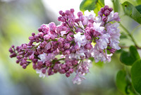 Bellamy_Ferriday_House_Lilacs_101